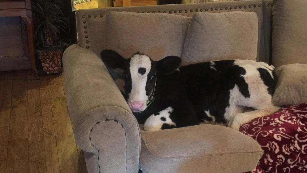 Image result for baby cows playing