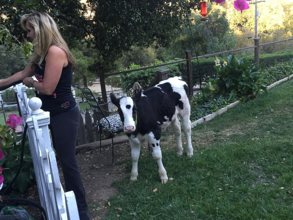 PHOTO: Goliath, pictured here, is a cow who thinks hes a dog, according to his owner Shaylee Hubbs from Danville, Calif.