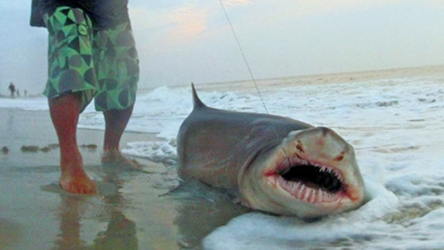 Summer of the shark again abc news for Shark fishing from shore