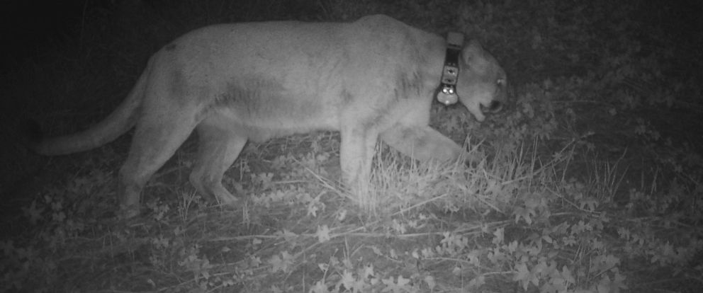 PHOTO: Famed Los Angeles mountain lion P-22 is pictured here in a still from surveillance footage captured by the Los Angeles Zoo on the evening of March 2, 2016, the night before a zoo koala was found dead.