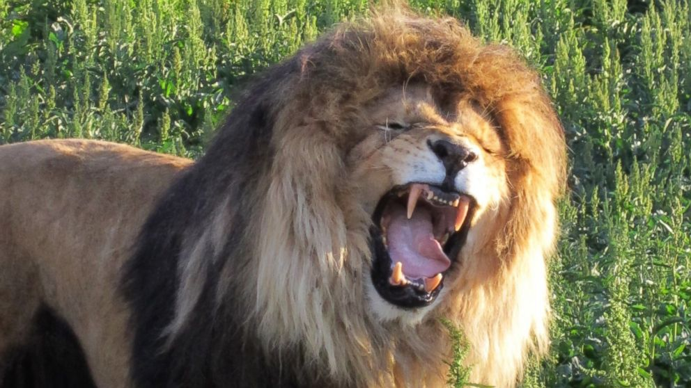 A 450-pound lion had a 3.8-pound hairball removed from his stomach in Colorado.
