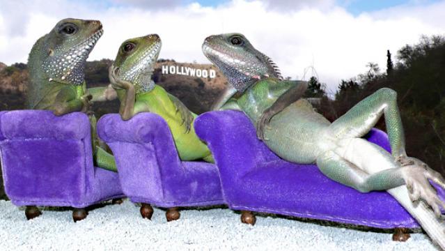 lounge lizards calif man puts pet lizards in human poses photos