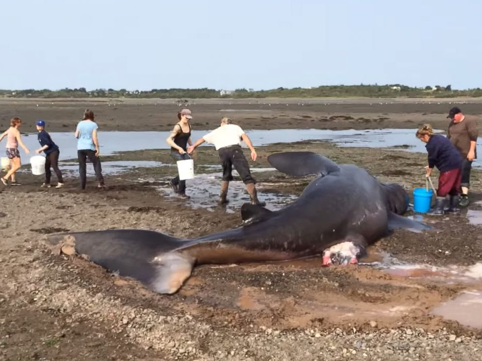 PHOTO: Local volunteers attempt to save a basking shark that washed ashore in Lubec, Maine on Sept. 2, 2015.