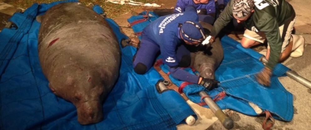 PHOTO: Two manatees rescued from a storm drain in Satellite Beach, Fla., Monday, February 23, 2015.