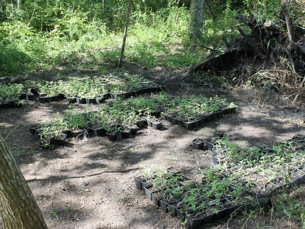 PHOTO: A nursery area of marijuana plants on the land located in Chambers County, Texas.