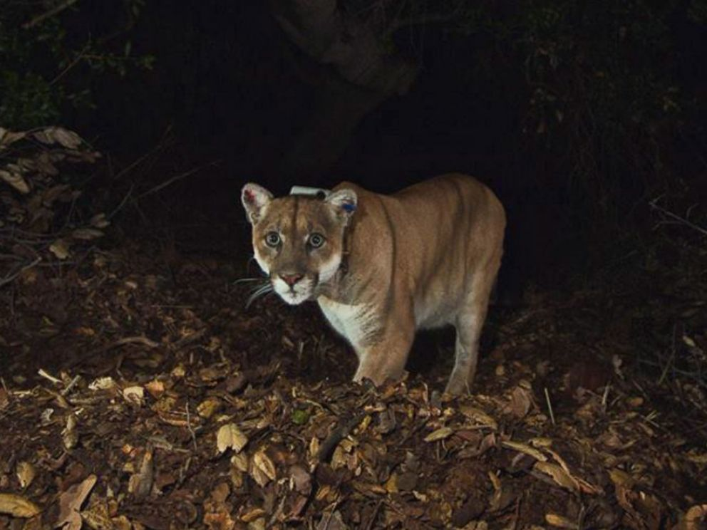 PHOTO: A photo released by the National Park Service in 2014 shows the Griffith Park mountain lion known as P-22.