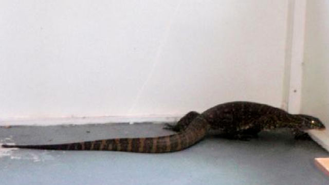 PHOTO:A 5-foot Nile monitor wandered around a persons garage and patio recently.