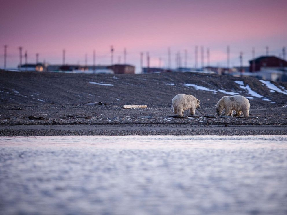 Two polar bears cubs play with rubbish along the Barter Island shore.