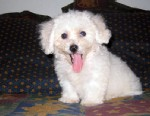 PHOTO: After six years of separation, Princess, a Bichon Frise, and the owner were united after disappearing from a Pomona, Calif., home.