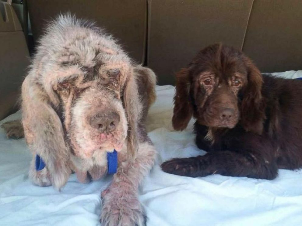 PHOTO: Denny and Drummond were rescued together. Drummond acts as guide dog for Denny.