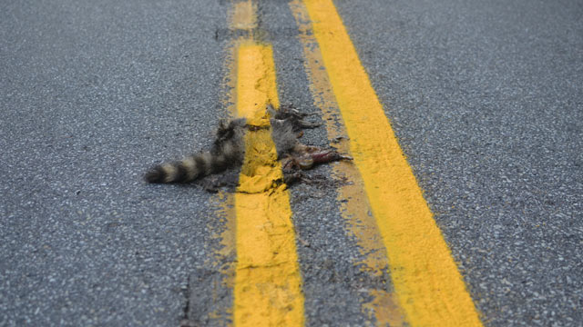 PHOTO: This photo provided by Sean McAfee shows a dead raccoon that McAfee saw with the road dividing line painted over it before he stopped his motorcycle to take the picture on Franklin Road in Johnstown, Pa.
