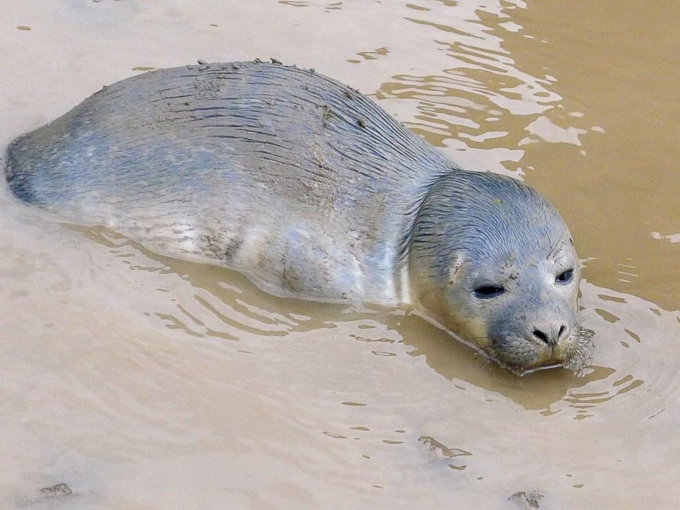 Curious Cows Help Save Seal Pup Stuck In Mud In After Swept By Tide