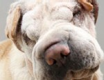 PHOTO: Sesame, a Shar Pei, was adopted from a San Antonio Humane Society after he received two facelifts to enable him to see and hear better.