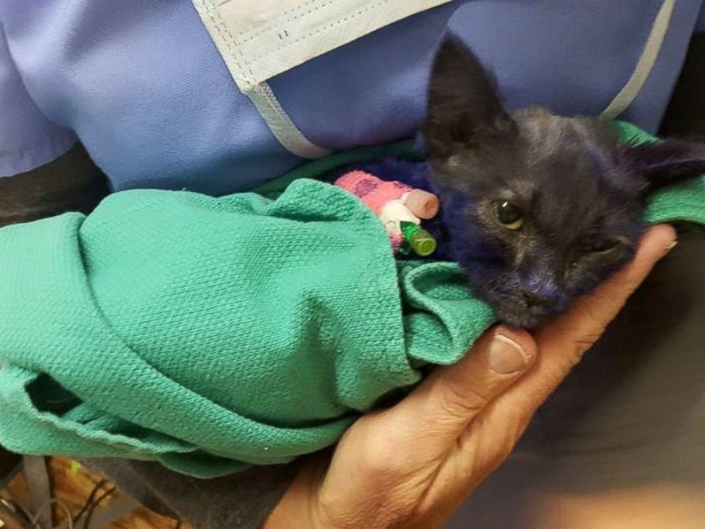 PHOTO: A kitten named Smurf, who was dyed purple and appeared to suffer some abuse, is recovering at the Nine Lives Foundation in Redwood City, California.
