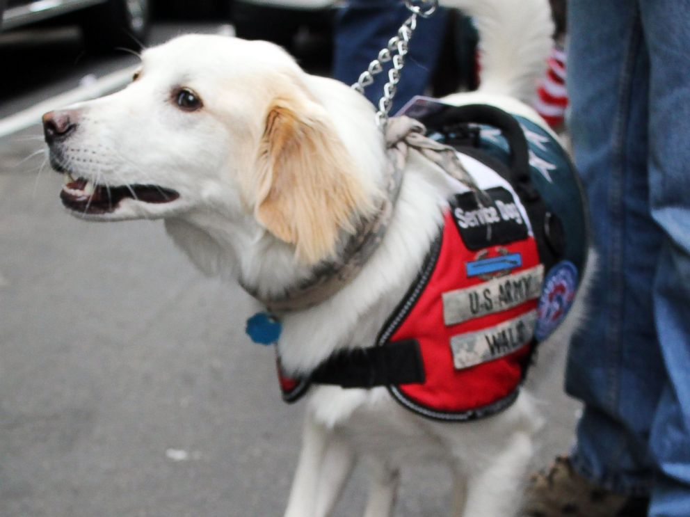 PHOTO: Tommy, a service dog trained by the organization Paws of War, helps veterans transition to life at home.