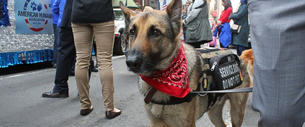 PHOTO: Axel is one of the 6 military dogs who marched in New York's Veteran's Day parade on Tuesday.