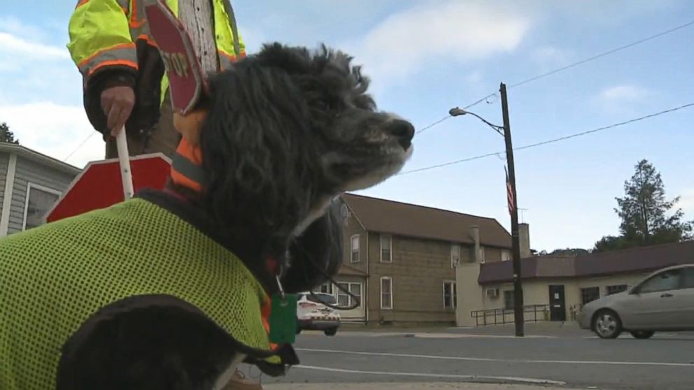 Patches the Crossing Guard Dog 'Fired' by School District - ABC News