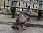 PHOTO: Zelda, Manhattans only wild turkey, has lived in Battery Park since 2003 and even weathered Superstorm Sandy unscathed.