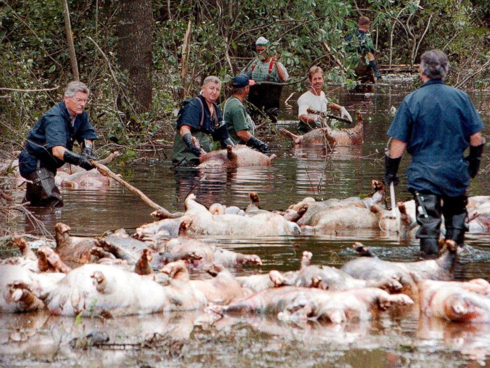 In this Sept. 24, 1999, file photo, employees of Murphy Family Farms along with friends and neighbors, float a group of dead pigs down a flooded road on Rabon Maready's farm near Beulaville, N.C due to Hurricane Floyd.