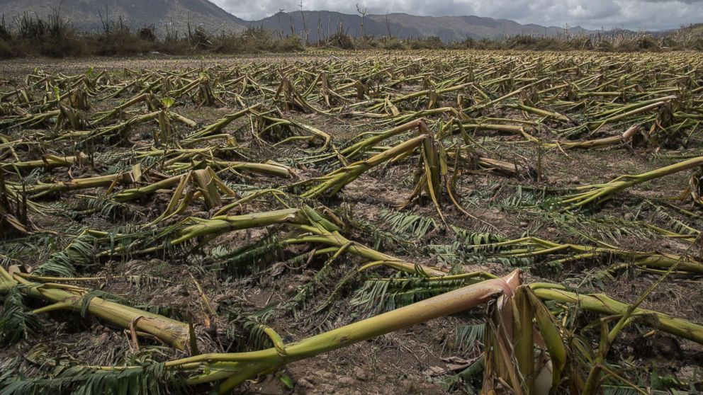 Flattened plantain trees line the ground in Yabucoa, Puerto Rico, Sept. 24, 2017.