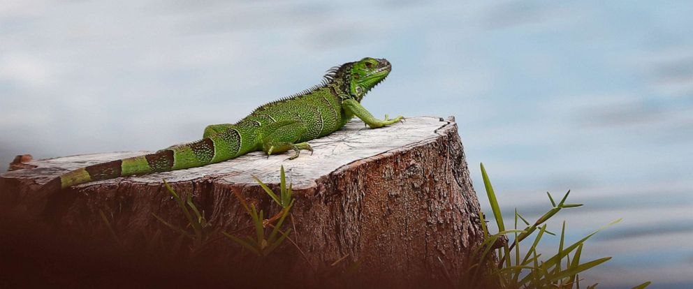 PHOTO: A green iguana rests on a tree stump at C.B. Smith park, May 8, 2019, in Pembroke Pines, Fla. As summer approaches more and more iguanas start to take over south Florida.