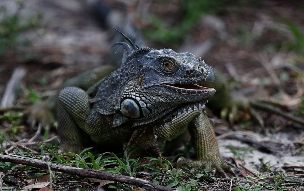 PHOTO: A green iguana looks for food in the grass at C.B. Smith park, May 8, 2019, in Pembroke Pines, Fla.