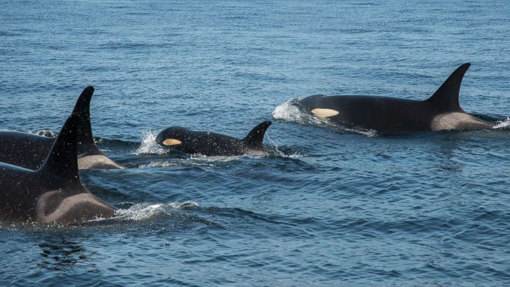 J50 is still keeping up with her pod, Aug. 9, 2018.