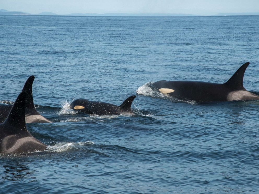 PHOTO: J50 is still keeping up with her pod, Aug. 9, 2018.
