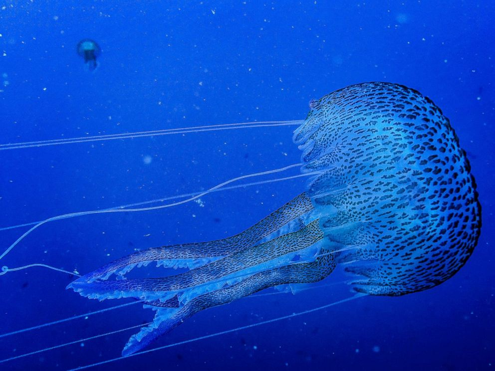 PHOTO: A jellyfish is seen during a dive inside the marine reserve of Cinque Terre on May 17, 2017, in Italy.
