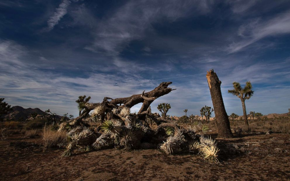 PHOTO:A once vibrant Joshua Tree has been severed in half in an act of vandalism in Joshua Tree National Park on Jan. 8, 2019, in Joshua Tree, Calif.