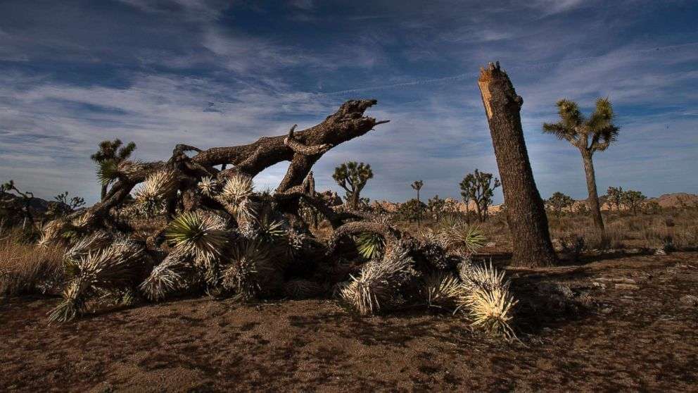 A once vibrant Joshua Tree has been severed in half in an act of vandalism in Joshua Tree National Park on Jan. 8, 2019 in Joshua Tree, Calif.