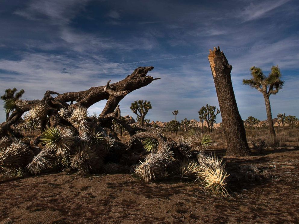 PHOTO: A once vibrant Joshua Tree has been severed in half in an act of vandalism in Joshua Tree National Park on Jan. 8, 2019 in Joshua Tree, Calif.