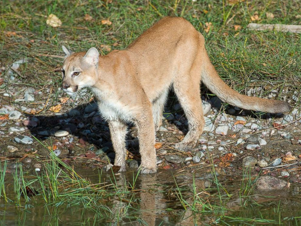 PHOTO: A juvenile captive mountain lion stands next to a pond in Montana, Sept. 17, 2013.