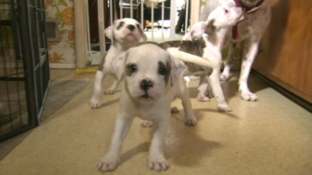 Four American Bulldog Puppies Home After Kidnapping - ABC News