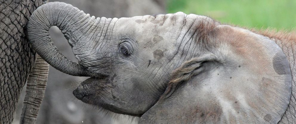 PHOTO: African elephant Kalina is seen in her enclosure at the Indianapolis Zoo.