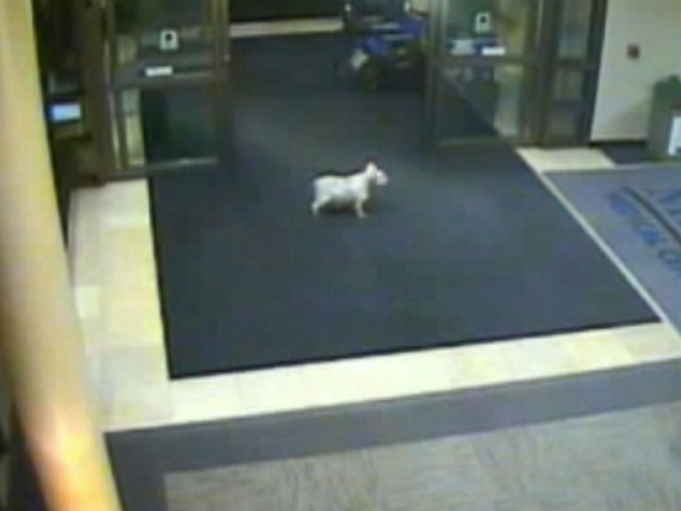 PHOTO: A miniature schnauzer named Sissy in Cedar Rapids, Iowa is captured on security footage after she ran away from home to find her owner at a hospital 15 blocks away.