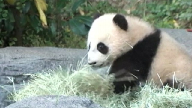 VIDEO: Xiao Liwu goes on public display at San Diego Zoos panda enclosure.