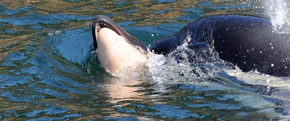 PHOTO: Southern Resident killer whale J35 swims with her calf.
