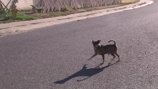 Chihuahuas Rampage in Arizona