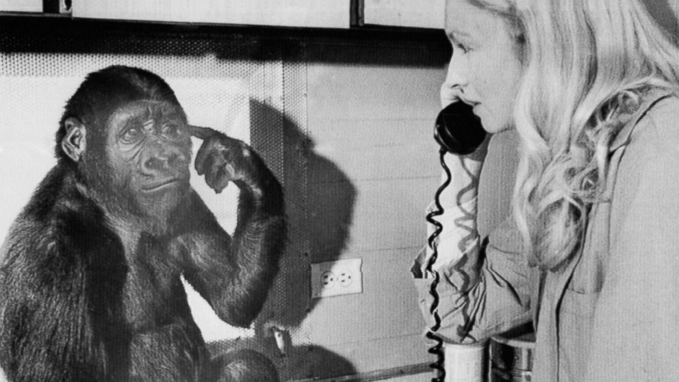 Koko the gorilla uses sign language to tells graduate student Penny Patterson she wants to listen to the phone, Feb.27, 1975.