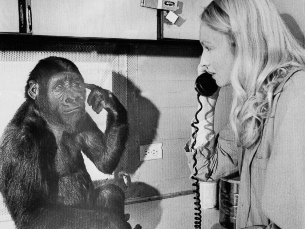 PHOTO: Koko the gorilla uses sign language to tells graduate student Penny Patterson she wants to listen to the phone, Feb.27, 1975.