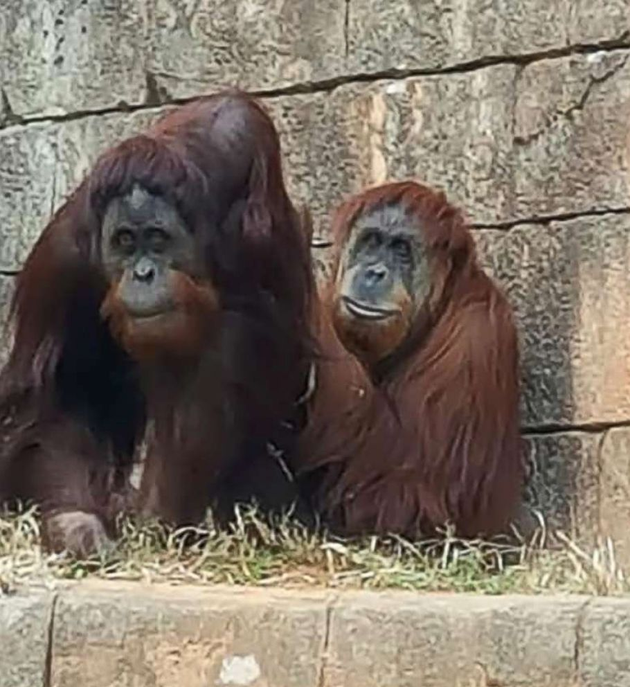 PHOTO: Kumar, the orangutan, with Lana, at the Greenville Zoo in Greenville, S.C., Nov. 23, 2018. Kumar briefly escaped his enclosure on Jan. 22, 2018 but returned quickly.