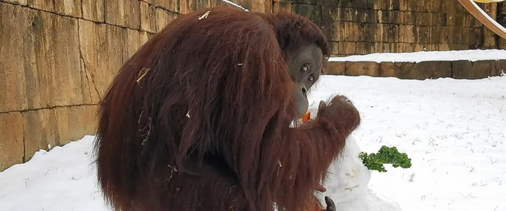 PHOTO: Kumar, the orangutan, plays with a snowman at the Greenville Zoo in Greenville, S.C., Jan. 17, 2018. Kumar briefly escaped his enclosure on Jan. 22, 2018 but returned quickly.