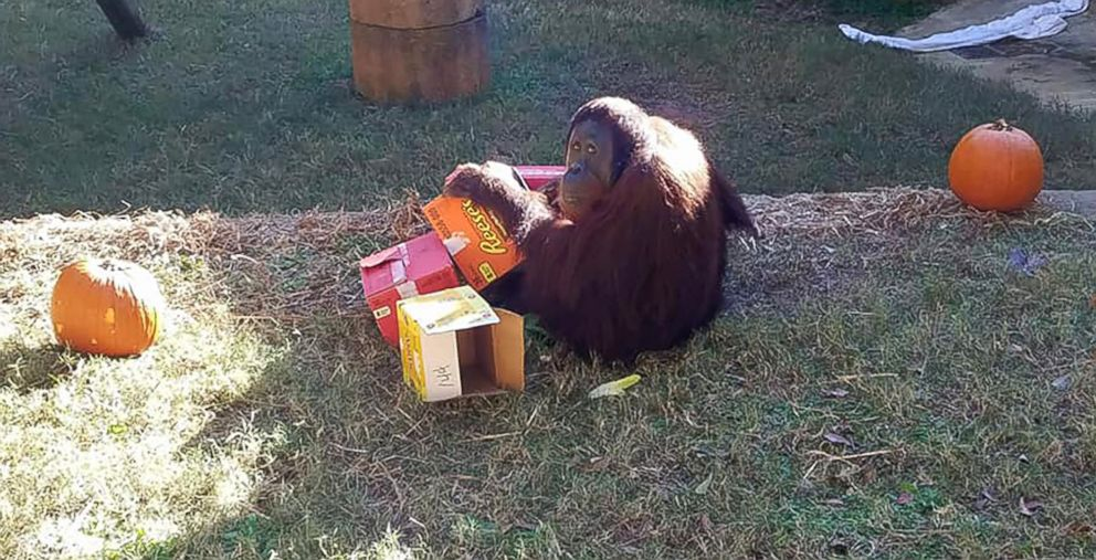 PHOTO: Kumar, the orangutan, plays with boxes at the Greenville Zoo in Greenville, S.C., Oct. 31, 2018. Kumar briefly escaped his enclosure on Jan. 22, 2018 but returned quickly.