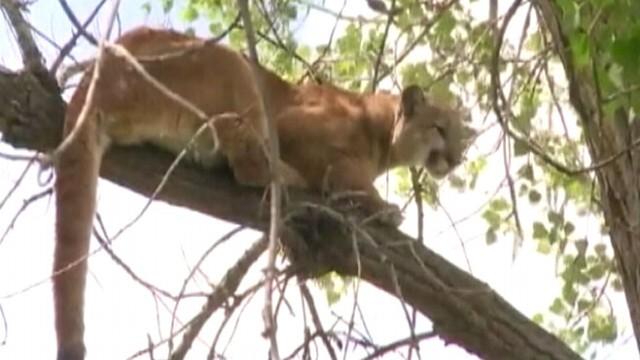 California Hiker Survives Mountain Lion Attack Video - ABC