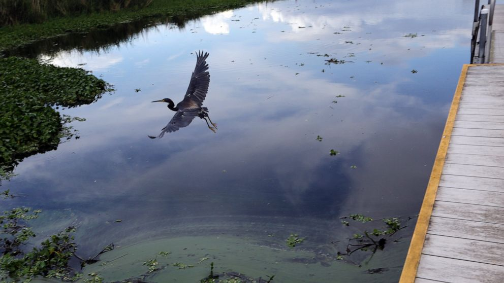 A bird flies past a boat ramp where algae collects at the shore of a canal along Lake Okeechobee Thursday