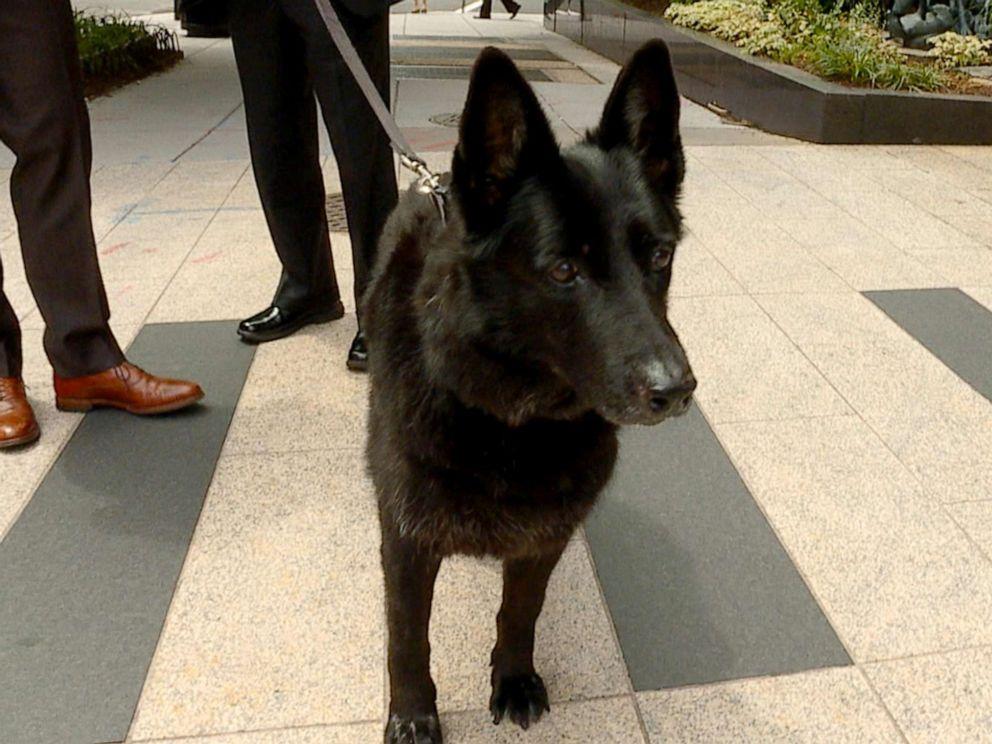 PHOTO: Yankee, the landmine sniffing dog, in Washington, DC, June 13, 2019.