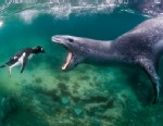 PHOTO: A leopard seal reaches to bite a penguin as it swims through the sea in Port Lockroy, Antartic Peninsula.