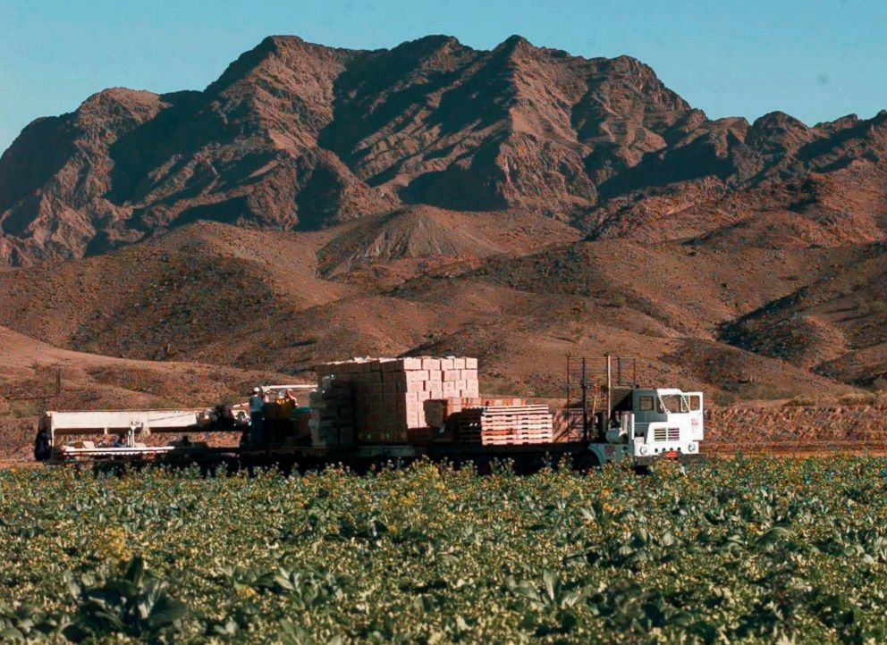 PHOTO: A 1997 file photo showing farm workers in a lettuce field at a farm in Wellton, Ariz., east of Yuma.