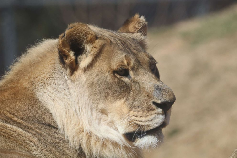 PHOTO: An 18-year-old African lioness named Bridget is puzzling zoologists after she mysteriously sprouted a mane.